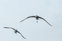 Zeemeeuw in de hemel Zeemeeuw die over overzees vliegt Royalty-vrije Stock Afbeelding