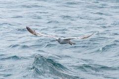 Zeemeeuw in de hemel Zeemeeuw die over overzees vliegt Royalty-vrije Stock Afbeeldingen