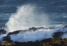 Zeemeeuw dichtbij een grote golf in Zuid-Afrika Royalty-vrije Stock Afbeeldingen