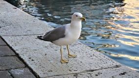 Zeemeeuw dichte omhooggaand - close-upmening van een zeemeeuw die zich op een Venetiaanse pier bevinden royalty-vrije stock fotografie