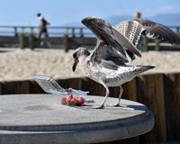 Zeemeeuw die aardbeien op het strand eten stock fotografie