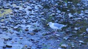 Zeemeeuw die bij karkas in ondiep water op de rivier van Washington trekken aan stock videobeelden