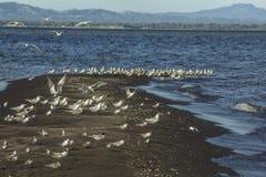 Zeemeeuw die bij Ometepe-Eiland landen Royalty-vrije Stock Foto