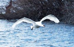 Zeemeeuw die bij u vliegen Royalty-vrije Stock Foto's