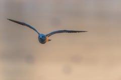 Zeemeeuw die bij zonsondergang vliegen Royalty-vrije Stock Foto's
