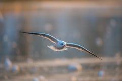 Zeemeeuw die bij zonsondergang vliegen Royalty-vrije Stock Foto
