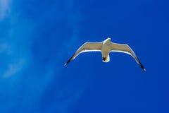 Zeemeeuw die in de hemel vliegen Royalty-vrije Stock Afbeeldingen