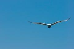 Zeemeeuw die in de hemel vliegen Stock Afbeelding