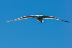 Zeemeeuw die in de hemel vliegen Royalty-vrije Stock Foto's