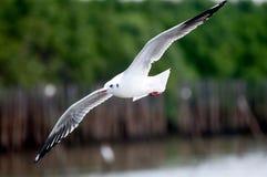Zeemeeuw die de Thaise Golf vliegen Stock Foto