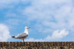Zeemeeuw die die op een bakstenen muur lopen, in Rogge, Kent, het UK wordt gezien Royalty-vrije Stock Afbeelding