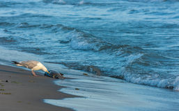 Zeemeeuw die Dode Vissen eten Stock Afbeeldingen