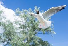 Zeemeeuw die door de hemel vliegen royalty-vrije stock foto's