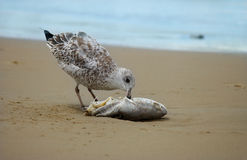 Zeemeeuw die een dode vis eet Stock Fotografie