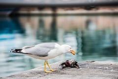 Zeemeeuw die een duif doden Stock Afbeelding