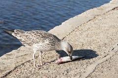 Zeemeeuw die een vis eet Stock Foto's