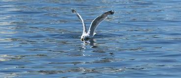 Zeemeeuw die een vis in het water vangen Royalty-vrije Stock Fotografie