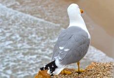Zeemeeuw die het strand bekijken stock afbeeldingen