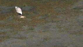 Zeemeeuw die Krab op het Strand eten stock footage
