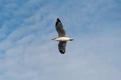 Zeemeeuw die met achtergrond van het hemel de blauwe onduidelijke beeld vliegen Royalty-vrije Stock Afbeeldingen