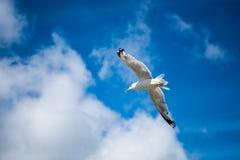 Zeemeeuw die met blauwe skys en witte wolken vliegen Stock Afbeelding