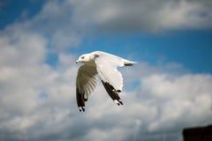 Zeemeeuw die met blauwe skys en witte wolken vliegen Stock Foto