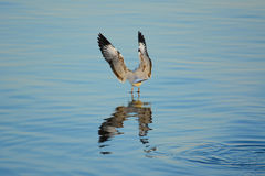Zeemeeuw die neer aan de oppervlakte van het overzees vliegen Stock Foto's