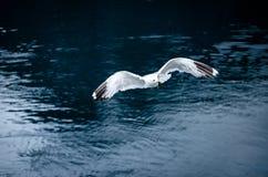 Zeemeeuw die in Noorwegen vliegen Stock Foto