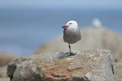 Zeemeeuw die op één been op een rots rusten Stock Afbeelding