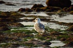 Zeemeeuw die op de kust lopen Royalty-vrije Stock Afbeelding