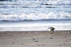 Zeemeeuw die op het natte zand op de achtergrond van overzees lopen Royalty-vrije Stock Afbeeldingen