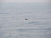 Zeemeeuw die op het overzees zwemmen Stock Foto