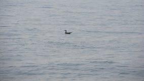 Zeemeeuw die op het overzees zwemmen Stock Afbeelding