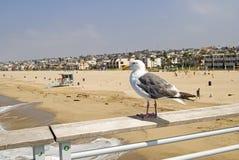 Zeemeeuw die op Strand Hermosa toezicht houdt Royalty-vrije Stock Afbeeldingen