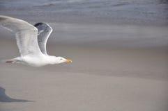 Zeemeeuw die op strand vliegt Royalty-vrije Stock Afbeeldingen