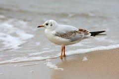 Zeemeeuw die op strand wordt bevonden Royalty-vrije Stock Foto's