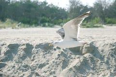 Zeemeeuw die op strand op zonnige dag dicht omhoog vliegen royalty-vrije stock foto's