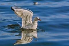 Zeemeeuw die op water landen Royalty-vrije Stock Afbeeldingen