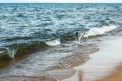 Zeemeeuw die over Baikal vliegen die naar voedsel zoeken royalty-vrije stock afbeelding