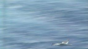 Zeemeeuw die over de oceaangolven vliegen stock videobeelden