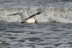 Zeemeeuw die over het overzees vliegt royalty-vrije stock foto's