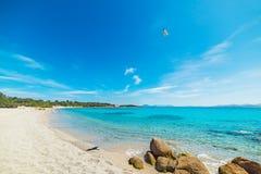Zeemeeuw die over het strand van La vliegen Celvia stock foto's