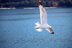 Zeemeeuw die over overzees vliegt Stock Afbeelding