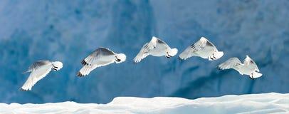Zeemeeuw die over Sneeuw vliegt Royalty-vrije Stock Afbeelding