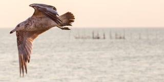 Zeemeeuw die over water vliegt Stock Afbeeldingen