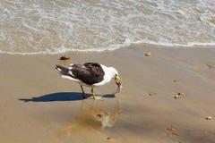 Zeemeeuw die vissen op strand eten dichtbij water Stock Foto's