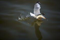 Zeemeeuw die voedsel op het overzees vangen Royalty-vrije Stock Afbeelding