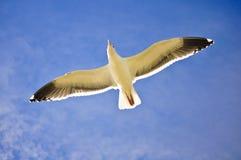 Zeemeeuw die volledige open vleugel vliegen royalty-vrije stock foto's