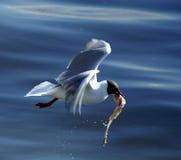 Zeemeeuw die - voor het leven jaagt Stock Afbeeldingen
