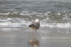 Zeemeeuw die zich door de kust bevinden die op de golven letten binnen volgend stock fotografie